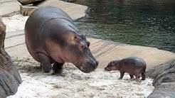 Baby Hippo Born At The Memphis Zoo