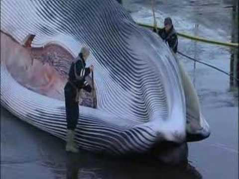 MAY BE DISTURBING - Iceland Whale slaughter