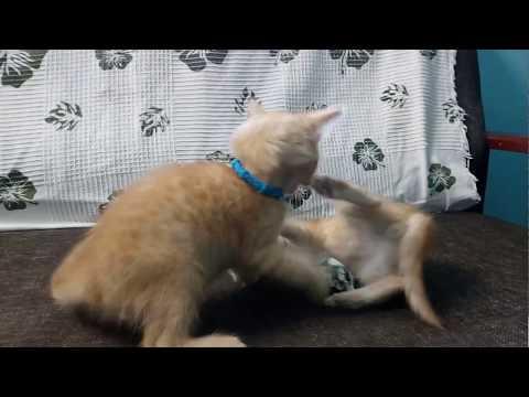 Cute Ginger kittens fighting...!