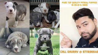Cheap price American pitbull puppies available in Delhi, India || 9711696640 ||