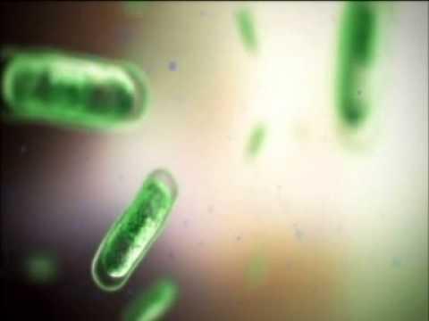 Proteus mirabilis в моче: причины появления и лечение