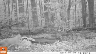 Многодетная рысь в Мордовском заповеднике
