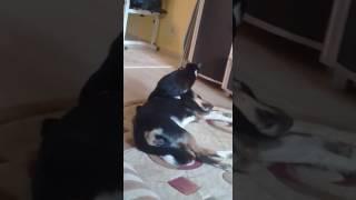 Смешное видео!! Кошка нападает на собаку.Кошка и собака дерутся Funny video.cat and the dog are figh