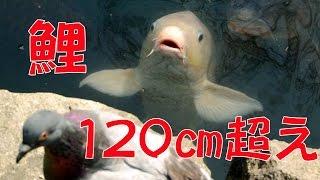 【釣り(てぇ)】120cm超えの鯉発見! 4K映像 4K放送 新元号 令和になっても頑張ります