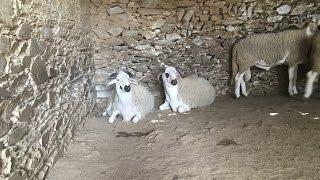 Eid  Al Adha Maroc: Mouton sardi