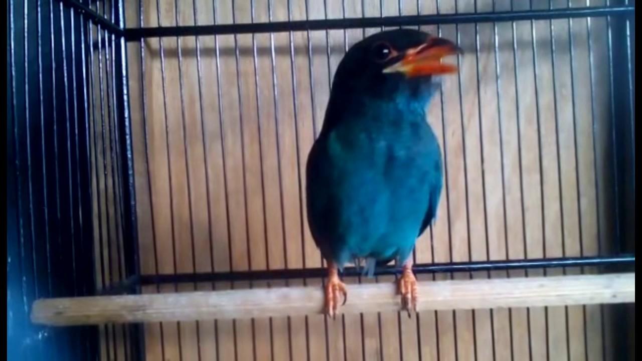 Unduh 76+ Gambar Burung Tengkek Buto Terbaru Gratis