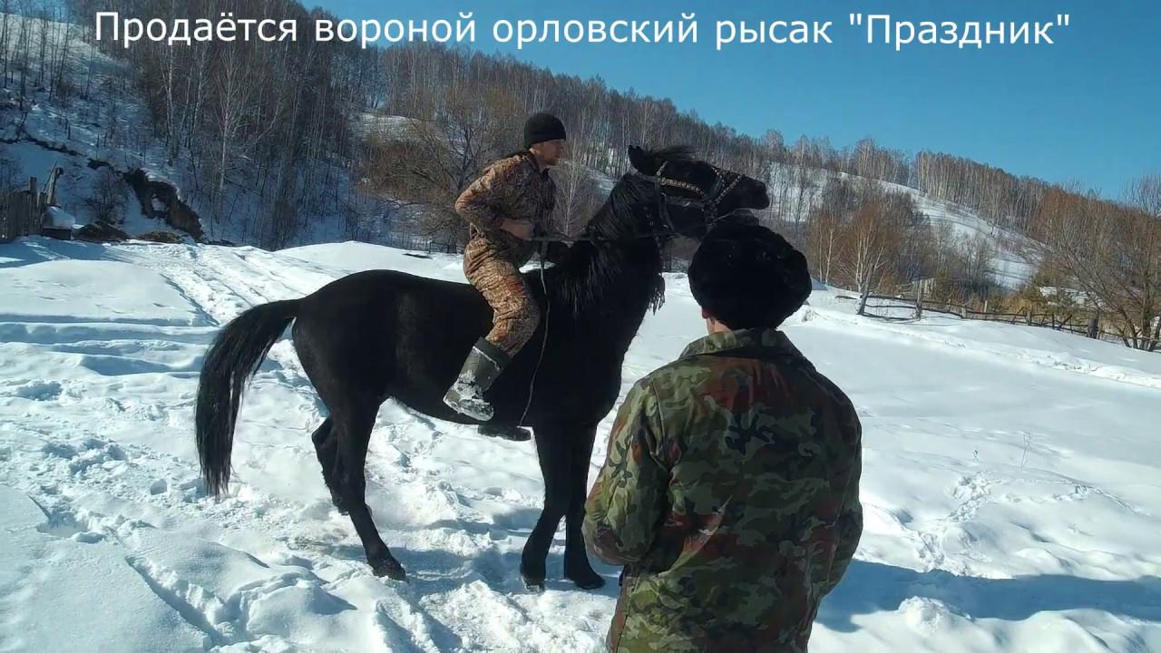 Продаётся Орловский Рысак