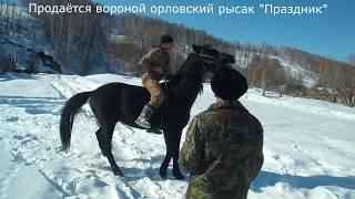 """Продаётся Орловский Рысак """"Праздник"""". (Не наш)."""