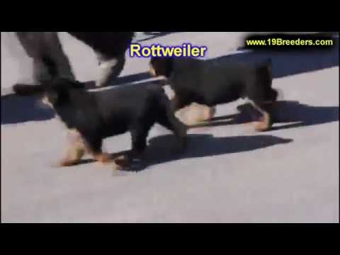 Rottweiler, Puppies, Dogs, For Sale, In Tampa, Florida, FL, 19Breeders, Fort Lauderdale, Hollywood