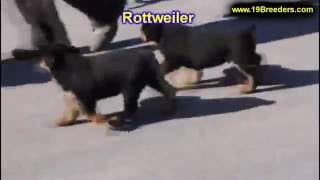 Rottweiler, Puppies, For, Sale, In, Jacksonville,florida, Fl,tallahassee,gainesville,