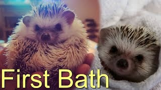 Our Hedgehogs first bath so cute! Someone wants to learn how to kiss!
