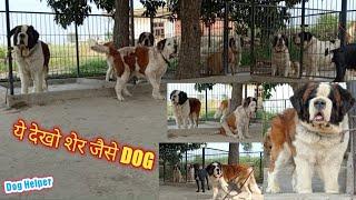 Top Quality Saint Bernard Dog in India || Dog Helper || 9802244438, 9813510099