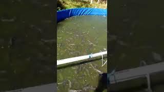 Budidaya lele dengan kolam bandar D3