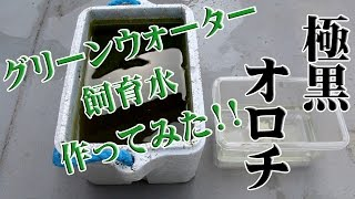 オロチメダカが孵化しましたので今回はグリーンウォーターを使って飼育...