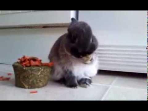 netherland-dwarf-rabbits