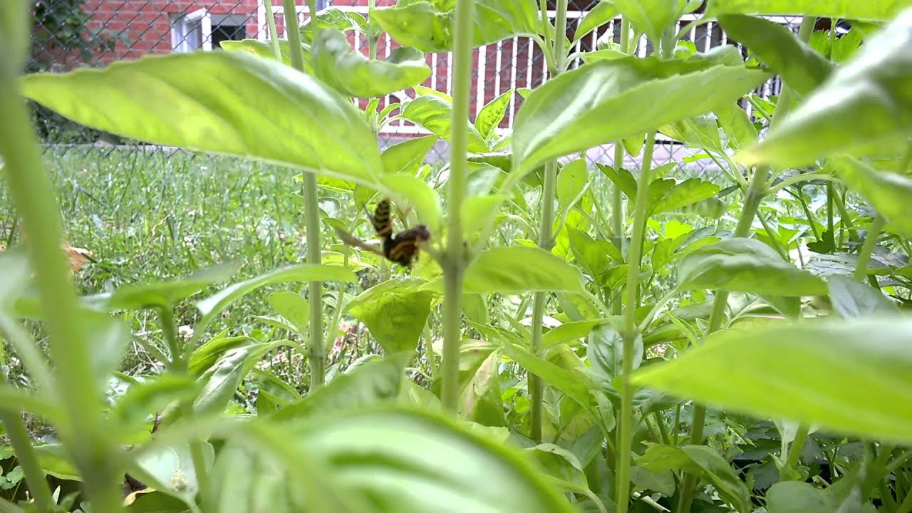 Wasp eating an Earwig in my basil plant