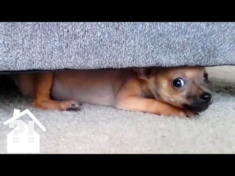 even-more-angry-chihuahuas-|-try-not-to-laugh-|-best-pets-ever!