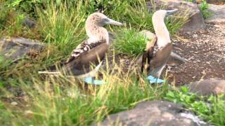 Blue-footed Booby Dancing!
