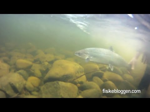 River Dee - Salmon Fishing Clips