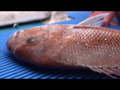 Ikijime (Brain Spike) Fish Dispatch