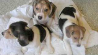 Beagle Puppies At The Washington Animal Rescue League