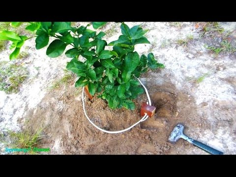 Lemon Tree Planting with Lakhovsky Sunlight Coil