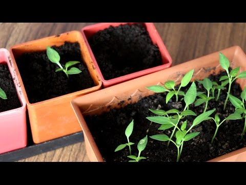 Рассада перца: от всходов до пикировки | пикировка | рассадой | рассады | рассада | овощей | перца | seedlings | уход | pepper | за