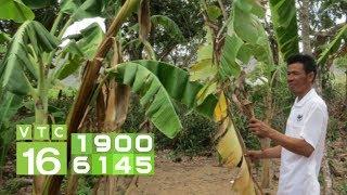 Cây chuối vàng lá: Ai ngờ mắc bệnh nguy hiểm | VTC16