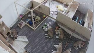 ЩЕНКИ #АКИТА ОНЛАЙН | #AKITA PUPPIES ONLINE | PET 犬 | DAY 41 thumbnail
