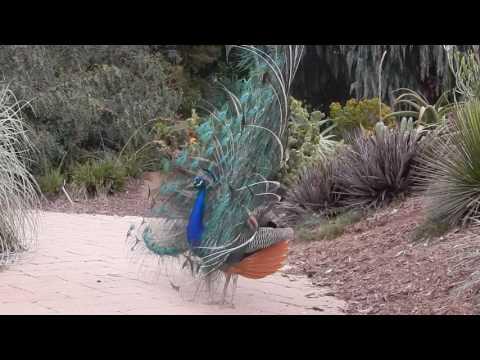 Los Angeles Arboretum: Peacocks display and call