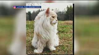 Science of the Weird : Giant Maine Coon Cat