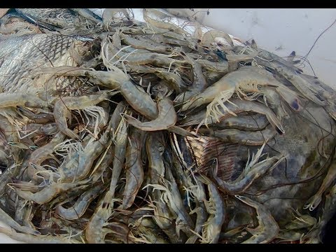 THE EASIEST WILD SHRIMP CATCH AND COOK- SHRIMPING In LOWCOUNTRY + AMAZING RECIPE!