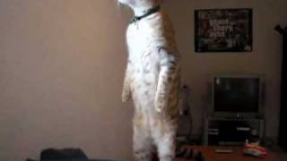 Кот стоит на двух лапах(Cat stands on two legs)