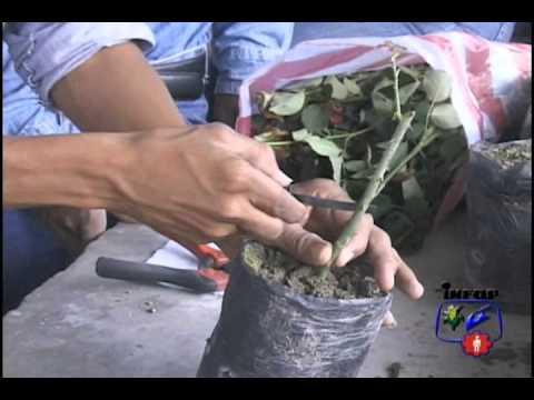 Reproduccion asexual en plantas multiplicacion vegetativa
