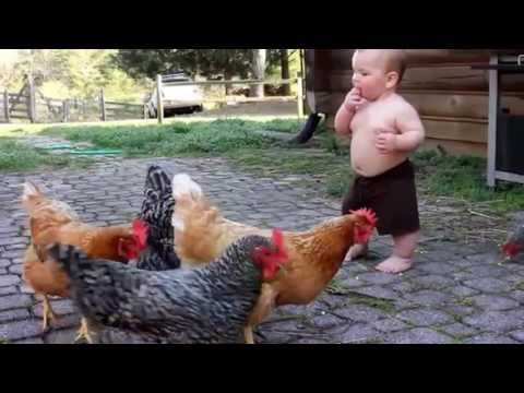 funny chicken videos