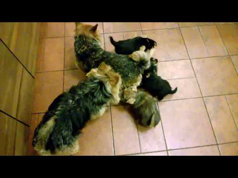 6 Norwich Terrier puppies Alta Carya FCI 2017 - 6,5 weeks old -part 1