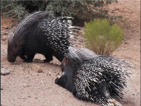Amazing Facts About Porcupines