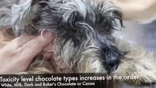 A dog had swallowed chocolates - Final video