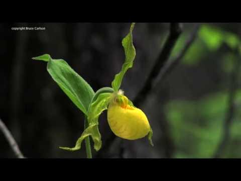 Georgia: Yellow Ladyʻs Slipper Orchid, Cypripedium parviflorum var. pubescens