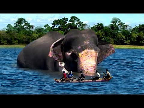 Swimming elephant with gunshot wounds