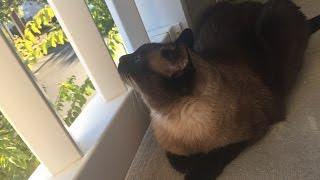 Жизнь в доме с кошкой добавляет несколько новых ругательств =^..^= СИАМСКИЕ КОШКИ