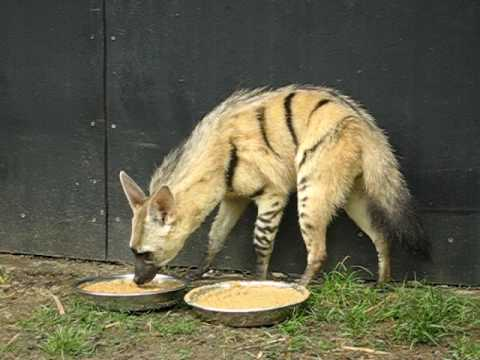 aardwolf (Proteles cristata septentrionalis) female is eating insectivore diet - RSCC - YouTube