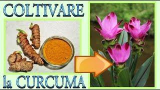 curcuma, come far nascere e fiorire una bellissima pianta di curcuma in casa