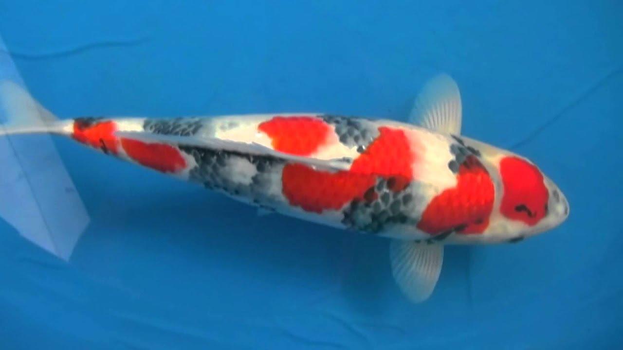 Okayama momotaro koi black dragon 57cm141119 youtube for Black dragon koi