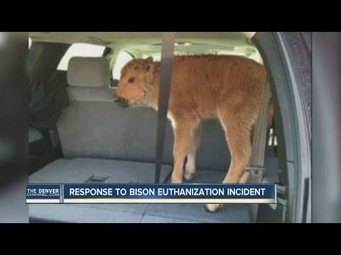 Yellowstone officials euthanize baby bison