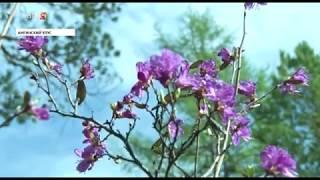 Кусты «сакуры» расцвели на горе Короленко в Амгинском районе