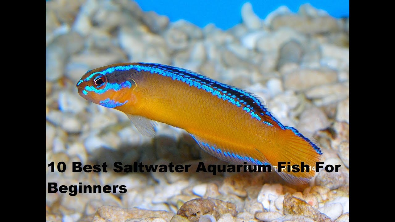 top 10 best saltwater aquarium fish for beginners youtube