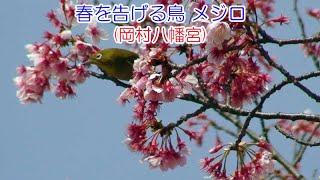 2007.3.10 春を告げる鳥 メジロ(岡村八幡宮)