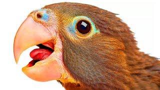 O Que Faz Os Papagaios Falarem Como Seres Humanos