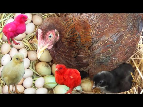 MURGI Hen Harvesting Eggs to Chicks | Funny Chicken Baby Born Videos | Hen Video | Fish Cutting